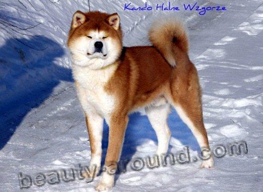 Японские породы собак ТОП10 с фото