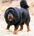 10 ყველაზე დიდი ძაღლი მსოფლიოში